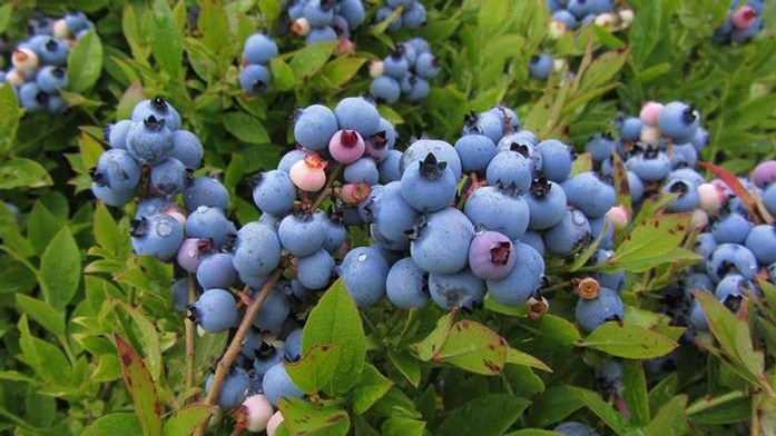 2017 Missouri Blueberry School
