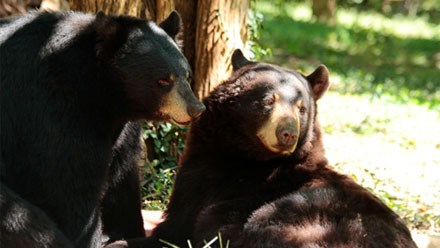 Dickerson Park Zoo, Missouri State University unveil 'Bear Country'